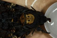 Acherontia atropos imago alimentation ©Jean Haxaire