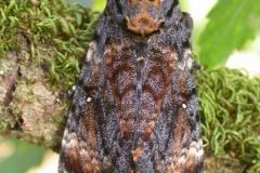 Acherontia atropos imago Orthez-dos ©Jean Haxaire