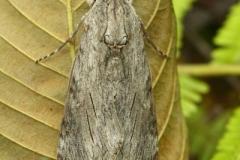 Agrius convolvuli imago femelle Laos Phu Phan © Jean Haxaire