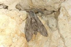 Agrius convolvuli imago femelle France Le Roc Laplume © Jean Haxaire