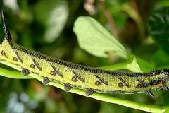 Agrius convolvuli chenille L4 France ©Tony Pittaway