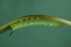Deilephila elpenor chenille L2 bis France Laplume (47) © Jean Haxaire