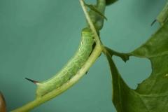Deilephila elpenor chenille L3 France Laplume (47) © Jean Haxaire
