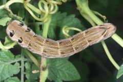Deilephila elpenor chenille L5 LeRoc © Jean Haxaire