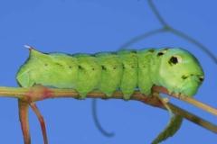 Deilephila elpenor L5 forme verte France LeRoc © Jean Haxaire