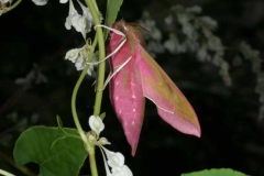 Deilephila elpenor imago femelle profil Rep Tchèque © Jean Haxaire
