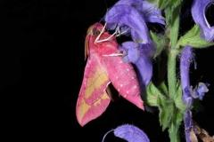 Deilephila_porcellus imago femelle Republique tchèque © Jean Haxaire