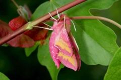 Deilephila porcellus femelle Republique tchèque dorsale © Jean Haxaire