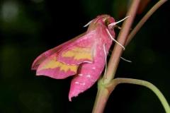 Deilephila porcellus imago femelle Republique tchèque profil © Jean Haxaire