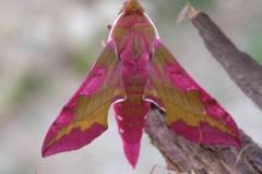 Deilephila porcellus imago © Jean Haxaire