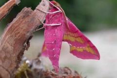 Deilephila porcellus imago male Laplume © Jean Haxaire