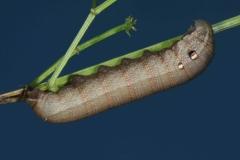 Deilephila porcellus chenille L4  France Mantet (66) © Jean Haxaire