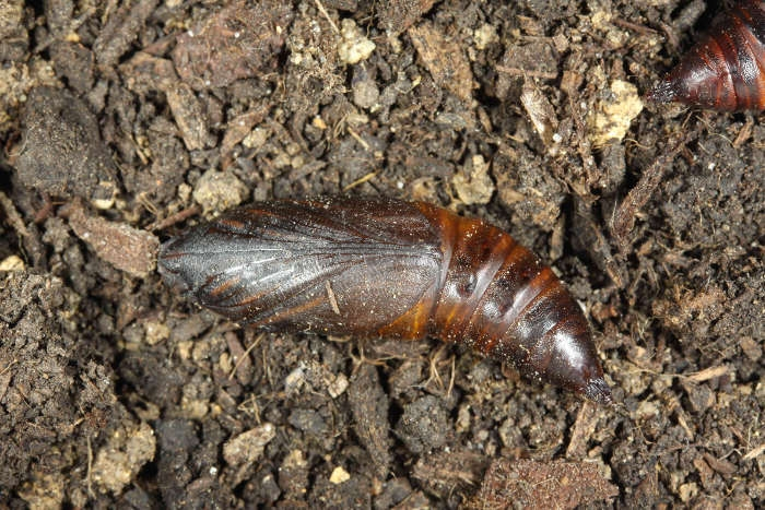 Hemaris fuciformis chrysalide1 France Houilles (47) ( © Jean Haxaire