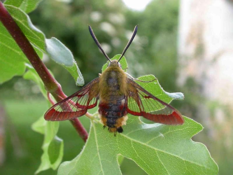 Hemaris fuciformis imago male France Laplume (47) © Jean Haxaire