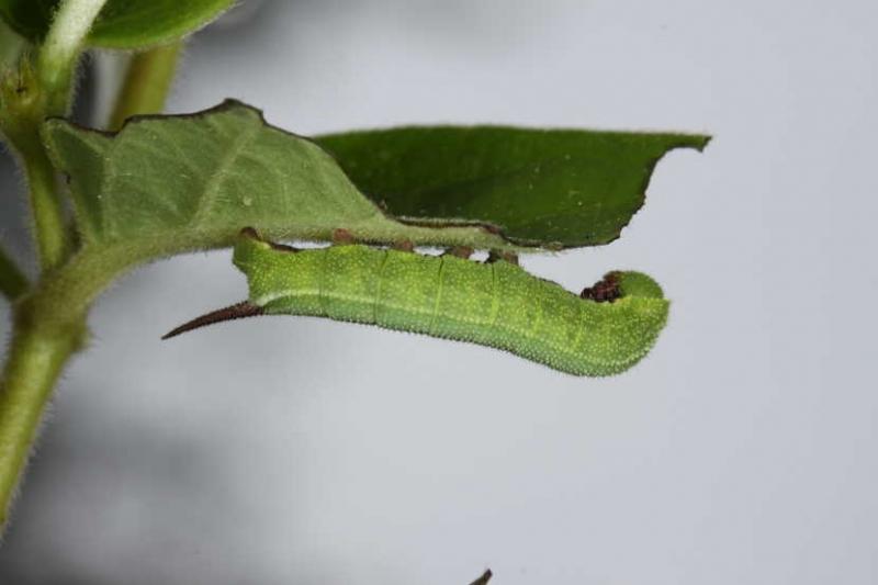 Hemaris fuciformis chenille L4 France Alaric (11) © Jean Haxaire