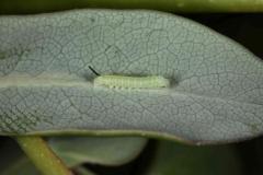 Hemaris fuciformis chenille L1 pré-mue France Alaric (11) © Jean Haxaire