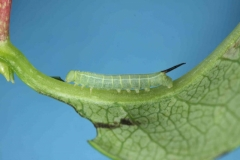 Hemaris fuciformis chenille L2 France Houilles (47) bis © Jean Haxaire