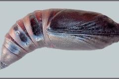 Hemaris tityus chrysalide Espagne © Tony Pittaway