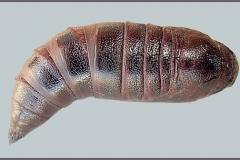 Hemaris tityus chrysalide dorsal Espagne © Tony Pittaway