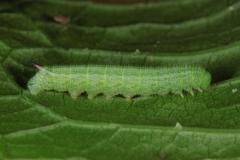 Hemaris tityus, chenille L3 (4 jours) sur Dipsacus fullonum, France, Antibes (06) © Jean Haxaire