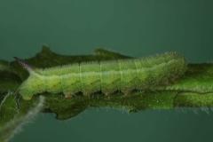 Hemaris tityus, chenille L4 (3 jours) sur Knautia arvensis, France, Antibes (06) © Jean Haxaire