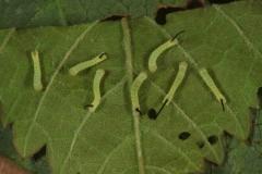 Hippotion celerio chenilles L1, Egypte © Jean Haxaire