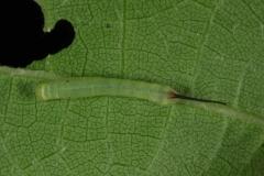 Hippotion celerio chenille L2, Egypte © Jean Haxaire
