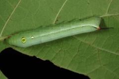 Hippotion celerio chenille L4, Egypte © Jean Haxaire