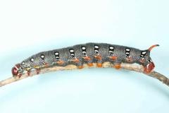 Hyles dahlii chrysalide Minorque-2 © Jean Haxaire