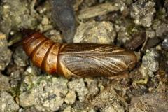 """Hyles euphorbiae chrysalide """"sombre"""", France, Alpes d'Huez (38) © Jean Haxaire"""