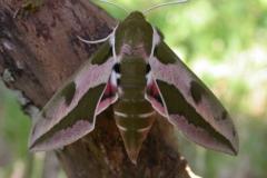 Hyles euphorbiae imago femelle AlpesDHuez (38) © Jean Haxaire