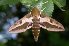 Hyles euphorbiae imago male1 Bruniquel (82) © Jean Haxaire