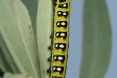 Hyles euphorbiae chenille L3, France, Sahorre (66) © Jean Haxaire