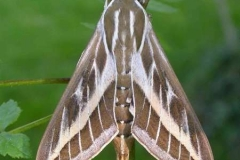 Hyles livornica imago femelle LeRoc © Jean Haxaire