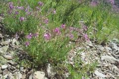 Epilobium dodonaei, plante-hôte d'Hyles vespertilio, l'Alpes d'Huez (38) France © Jean Haxaire
