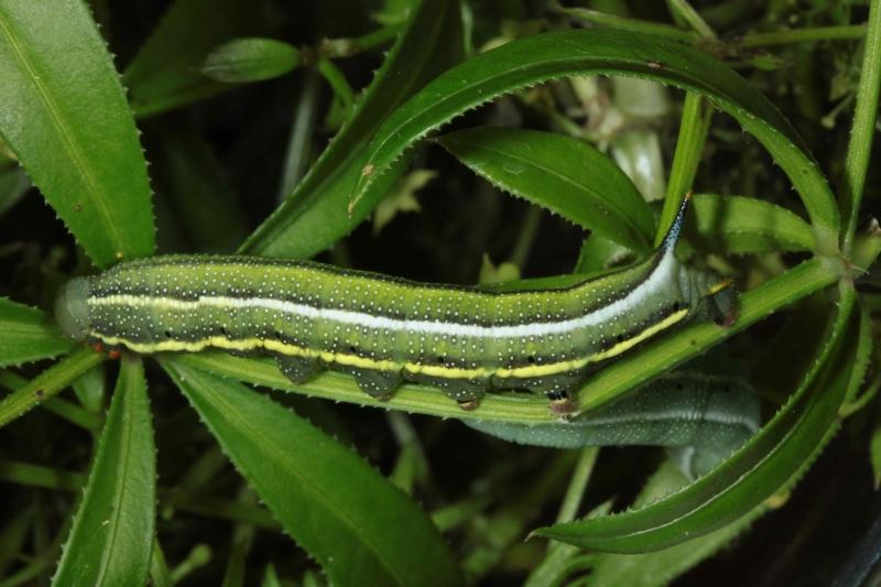 "Macroglossum stellatarum chenille L5 forme vert-sombre France ""Le Roc"" Laplume (47)"