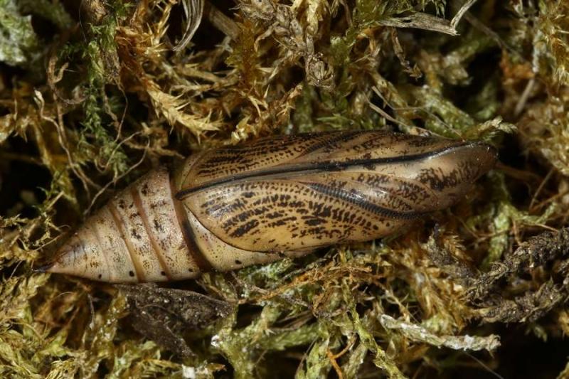 "Macroglossum stellatarum chenille chrysalide France ""Le Roc"" Laplume (47) ©Jean Haxaire"