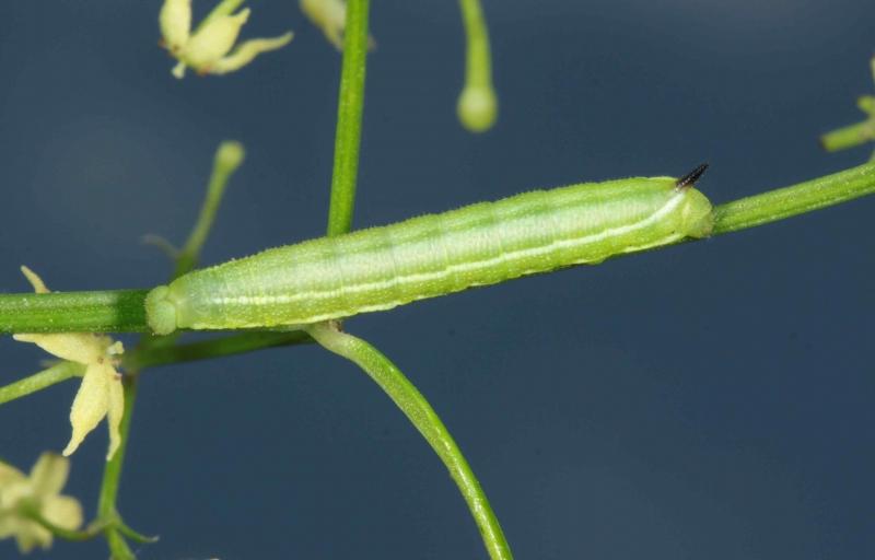 Macroglossum stellatarum chenille L3 France Laplume (47) ©Jean Haxaire