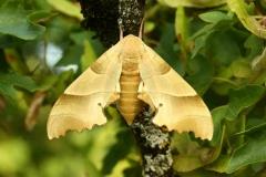 Marumba quercus imago femelle France Bauduen (83630)