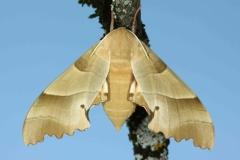 Marumba quercus imago femelle France Bauduen (83630) © Jean Haxaire