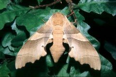 Marumba quercus imago femelle © Tony Pittaway
