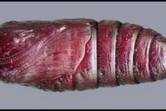 Marumba quercus chrysalide © Tony Pittaway