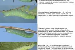 Planche comparative des chenilles de Smerinthinae de France