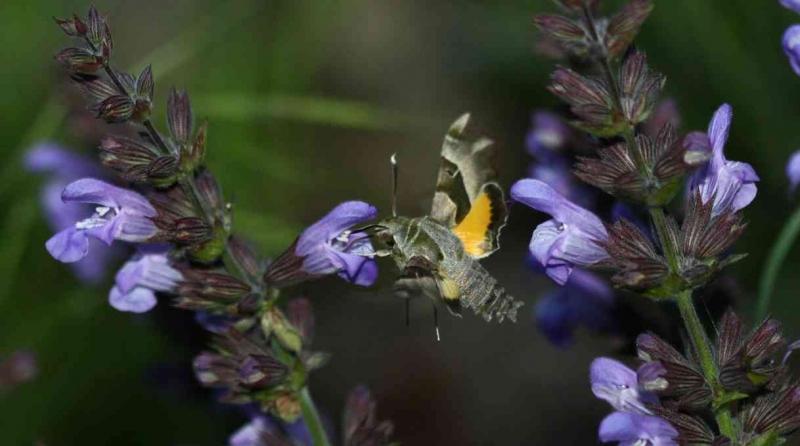 Proserpinus proserpina imago au vol France LeRoc Laplume (47) © Jean Haxaire