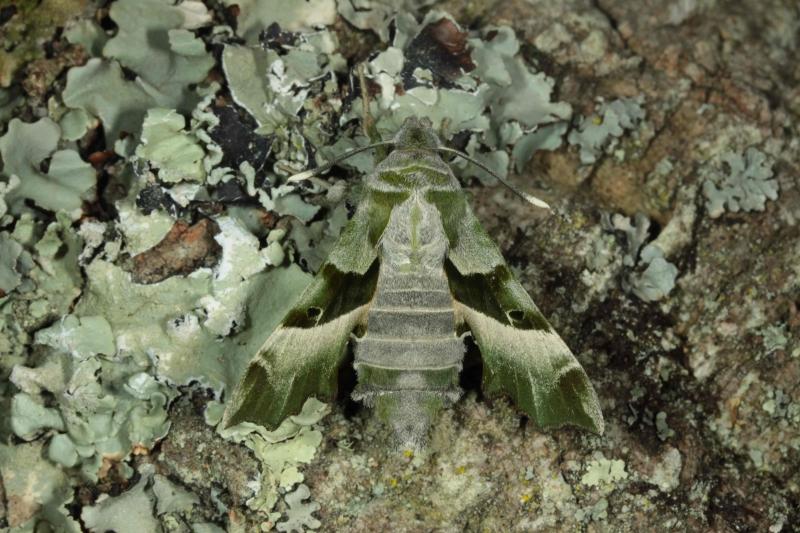 Proserpinus proserpina imago femelle France, Laplume (47) © Jean Haxaire
