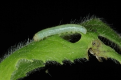 Proserpinus proserpina chenille L1 avant mue France Le-Roc-Laplume (47) © Jean Haxaire