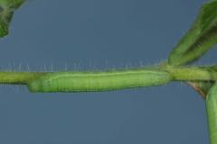 Proserpinus proserpina chenille L3 France Le-Roc-Laplume (47) © Jean Haxaire