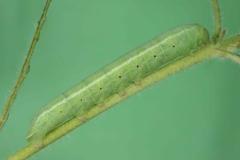 Proserpinus proserpina chenille L4 France Le-Roc-Laplume (47) © Jean Haxaire