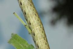 Proserpinus proserpina chenille L5 forme verte France Le-Roc-Laplume (47) © Jean Haxaire