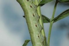 Proserpinus proserpina chenille L5 forme vert-pâle France Le-Roc-Laplume (47) © Jean Haxaire